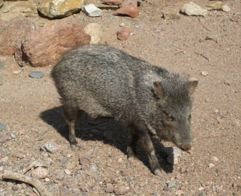photo of javelina pig animal