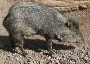 Javelina of Arizona